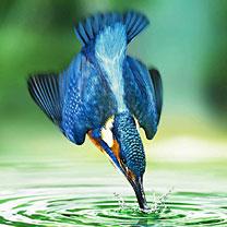 Eisvögel - fliegende Diamanten Eisvogel_Wasser